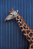 The head and neck of a Rothschild Giraffe Stock Images