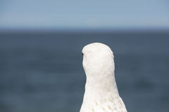 The head and neck of a seagull Royalty Free Stock Photo