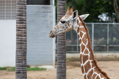 Head and neck shot of giraffe Royalty Free Stock Image