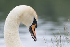 A white swan head shot stock images