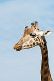 Head and neck of young giraffe Stock Photography