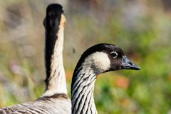 Head of Nene Hawaiian goose, with second bird in background. royalty free stock photo
