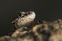 Head of a new Caledonian bumpy gecko Royalty Free Stock Photo