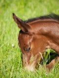 Head of newborn foal Stock Photos