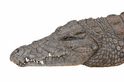 Head of Nile Crocodile. Stock Photo