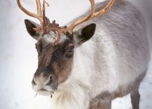 Head of north reindeer close-up. Deer with thick white and gray hair and large horns directed head to the viewer. Big eyes. Snowy winter. Nature of Siberia royalty free stock image