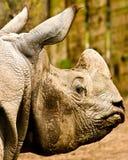 head noshörning Royaltyfri Foto
