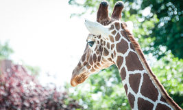 Head of a Nubian Giraffe from behind Royalty Free Stock Photography