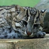 Head of ocelot. (LEOPARDUS TIGRINUS) with white whiskers Stock Photo
