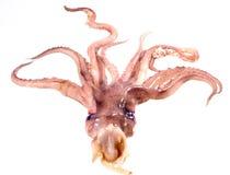 Head octopus Stock Photo