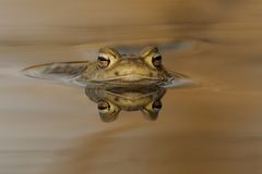 Head Of A Common Toad Stock Photos