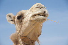 Head Of A Dromedary Camel Stock Photo