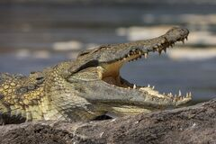 Free Head Of A Nile Crocodile With An Open Mouth Royalty Free Stock Image - 183999796