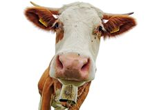Head Of A Simmental Cow With Horns And Bell With White Background Royalty Free Stock Image