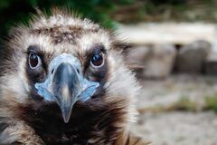 Head Of Black Vulture Closeup Outdoor Royalty Free Stock Photography