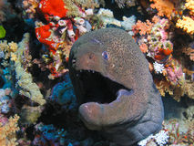 Head Of Giant Morey Eel Stock Images