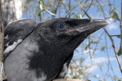 Head Of The Crow 2. Royalty Free Stock Images