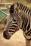 Head Of Zebra Stock Photos