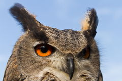 Head off eagle owl Stock Images