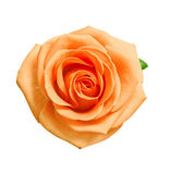 Head of orange rose Royalty Free Stock Photo