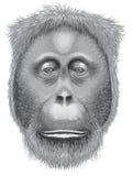 A head of an orangutan Royalty Free Stock Photography