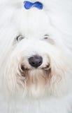 Head of an original Coton de Tuléar dog - pure white like cotto Stock Image