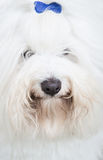 Head of an original Coton de Tuléar dog - pure white like cotto Stock Image