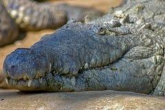 Head of the Orinoco crocodile stock image