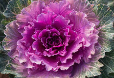 Head of ornamental cabbage Royalty Free Stock Photography