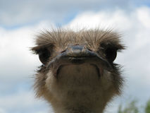 Head of ostrich. A head of an african ostrich in front. Detail view stock photography