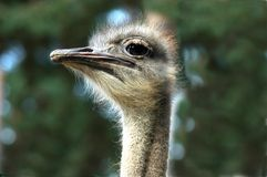 A head of an ostrich. Close up Royalty Free Stock Images