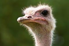 head ostrich Royaltyfri Fotografi