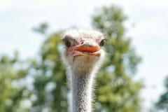 head ostrich Royaltyfri Bild