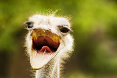 Head of ostrich. With the opened mouth Stock Photography