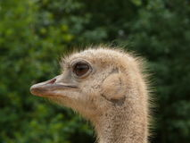 head ostrich Royaltyfria Foton