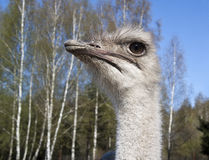 Head of an ostrich Royalty Free Stock Images
