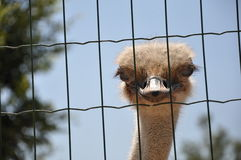 Head of an ostrich. Behind a lattice Stock Images
