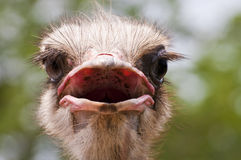 Head ostrich. Ostrich portrait close up and isolated stock photography