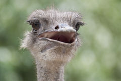 A head of the ostrich. With the mouth opening slightly Stock Image
