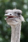 The head of an ostrich Royalty Free Stock Image