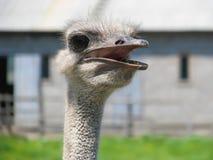 head ostrich arkivfoton