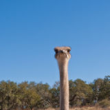 Head of ostrich against blue sky Stock Photos