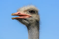 Head of an ostrich. Head ostrich on a background of blue sky Stock Images
