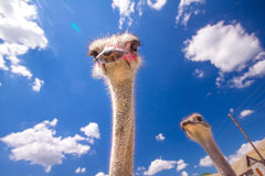 Head of an ostrich Stock Image