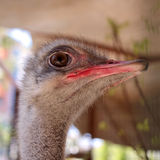 Head of ostrich Royalty Free Stock Photos