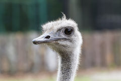 Head of an ostrich Stock Photography