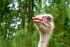 Head ostrich close up. His gaze is simply fascinating. Close-up, blurred green background royalty free stock image