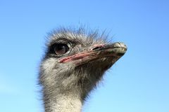 The head of the ostrich Stock Photos