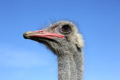 The head of the ostrich Stock Photography