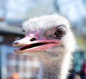 Head of ostrich Stock Image